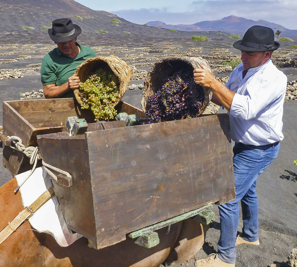 collecting grapes lanzarote vineyard