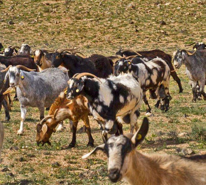 lanzarote goats