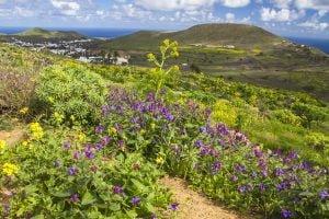 Haría in flower, north of Lanzarote