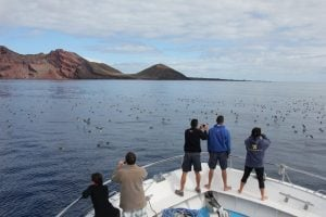 birdwatching cory´s shearwaters Canary islands
